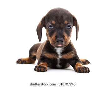 Dachshund cute puppy isolated on white