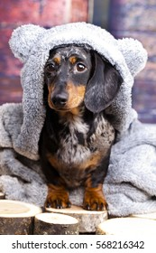 dachshund dog in a bear suit