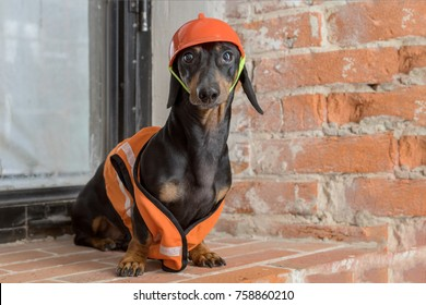 Dachshund dog, black and tan, sits on the background of a dirty window and a brick wall, in an orange construction vest and helmet during a building renovation
