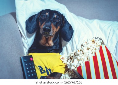 dachshund dog, black and tan, watching a television show or movie on TV, lying in a chair with a remote control and popcorn.