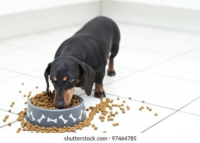 Dachshund dog breed eating food from dog bowl