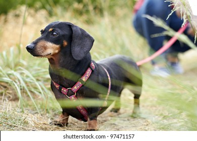 Dachshund dog breed looking ahead with leash extended