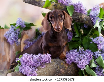dachshund dog brown tan color and lilac purple