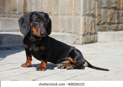 Dachshund dog in the city