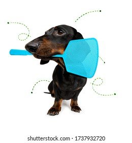 dachshund dog considering the problem of tick insects and fleas , close to scratch its skin or fur , isolated on white background, with a fly swatter