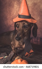 Dachshund dog dressed funny halloween in studio on wooden table