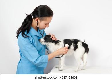 dachshund dog examination by a veterinary doctor