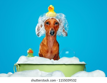 Dachshund dog having bath in a basin