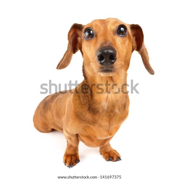 Dachshund dog isolated on white background