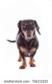 Dachshund Dog isolated over white background looking right.