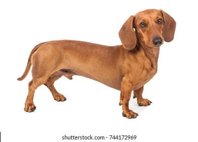 Image of: Miniature Dachshund Dachshund Dog Isolated Over White Background Shutterstock Sausage Dog Images Stock Photos Vectors Shutterstock