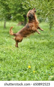 dachshund dog jumps up