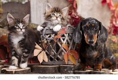 dachshund dog and kittens in the autumn background with red leaves,