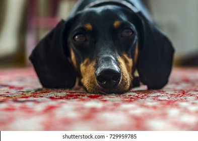 dachshund dog lies