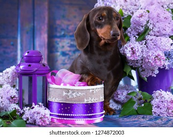 dachshund dog lilac bouquet, spring flowers