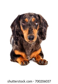 Dachshund dog of a marble color looks on a white background