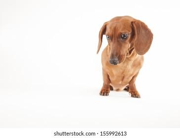 Dachshund dog on a white background