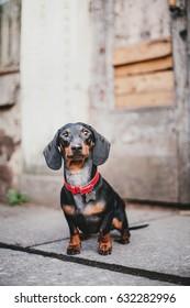 Dachshund dog outdoor