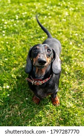 Dachshund dog in the park on the lawn. Cute smiles and wags his tail.