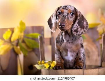 Dachshund dog portrait in autumn background