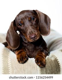 Dachshund dog portrait over white background