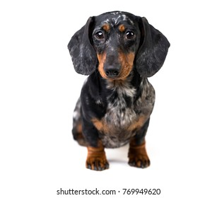 Dachshund dog portrait over white background
