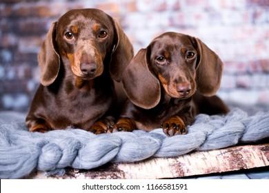 Dachshund dog portrait . Tvo dogs
