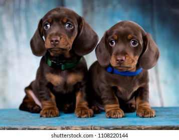Dachshund dog  puppy