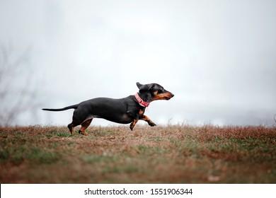 Dachshund dog running outdoor. Dog running
