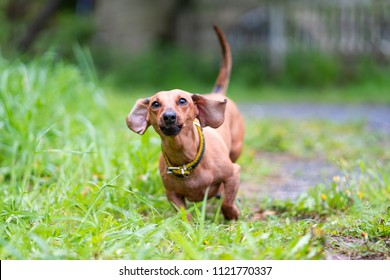 dachshund dog running outdoors.