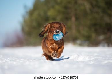 dachshund dog running outdoors in winter