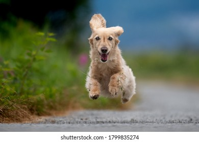 dachshund dog runs towards camera and no feet are touching the ground