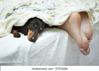 Dachshund dog sleeping on bed next to feet