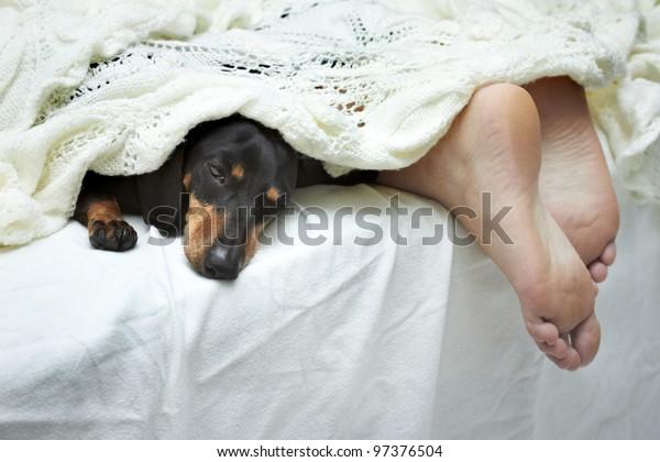 Dachshund dog sleeping on bed next to feet