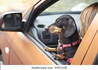 Dachshund dog staring out of car window