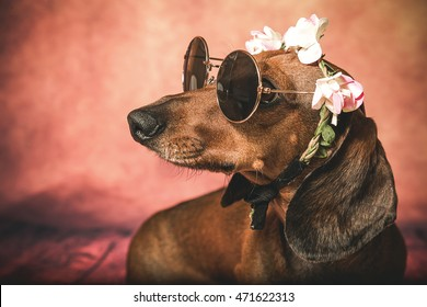 Dachshund dog with sunglasses and flowers on the head with look of hippy