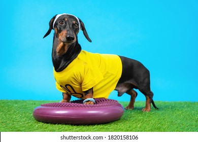 Dachshund dog in tracksuit, wristbands and sweatband placed its front paws on silicone hemisphere to train balance and agility, blue background. Sports on grass.
