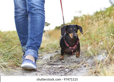 Dachshund dog walking beside owner