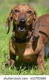 Dachshund dog walking on the green grass.