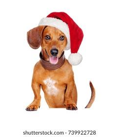 dachshund dog wearing santa hat  holding the blank board