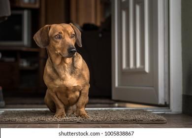 Dachshund in the doorstep