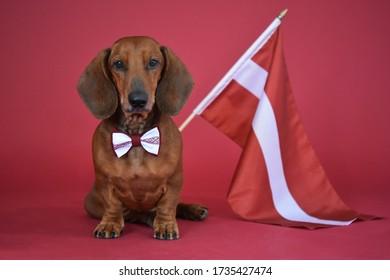 Dachshund mit der Flagge Lettlands im roten Hintergrund