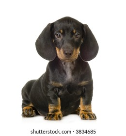 Dachshund in front of white background