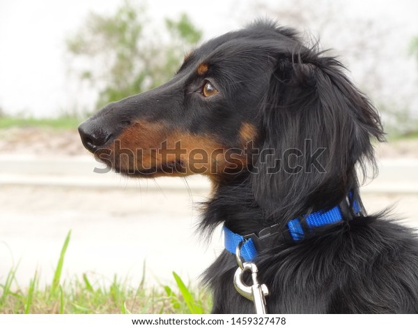 Dachshund gazing off into the distance.