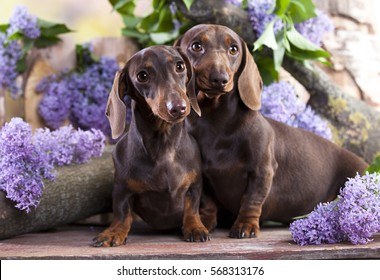 Dachshund In Lilac Colors Images Stock Photos Vectors Shutterstock