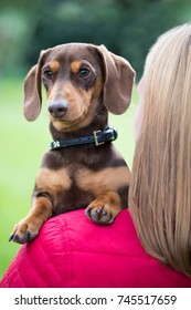 Dachshund Looking Over Owner's Shoulder