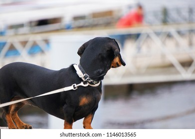 The dachshund looks aside