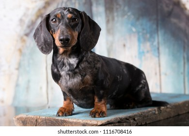 dachshund  marble black - tan color