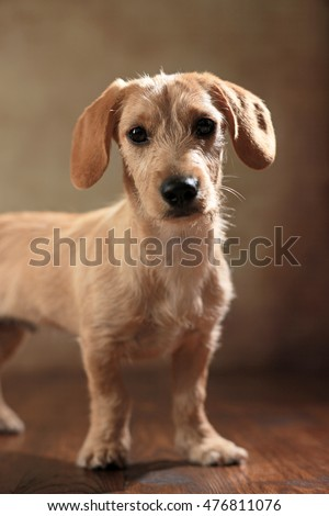 Dachshund Mixed Puppy Stock Photo Edit Now 476811076 Shutterstock