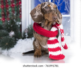 dachshund, New Year's puppy, Christmas dog